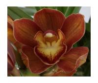Cymbidium Orange