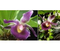 Cochleanthes hybrid 01
