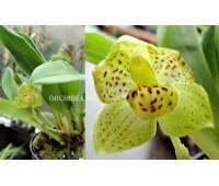 Stenia calceolaris