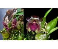 Sunipia grandiflora