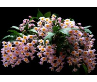 Dendrobium farmeri pink (clumb)