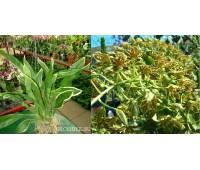 Grammatophyllum scriptum variegata