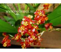 Oncidium Tiny Twinkle 'Cinnamon'