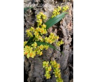 Oncidium Twinkle 'Golden Fragrance'