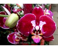 Phalaenopsis PH 092