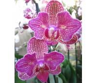 Phalaenopsis (peloric) PP 001