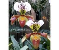 Paphiopedilum Morgana Spots x Mingo
