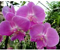 Phalaenopsis PH 224 Big Lip