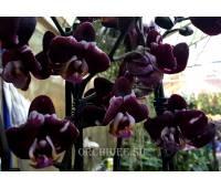 Phalaenopsis PH 104 Black Prince