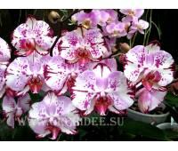 Doritaenopsis DTPS 004/1 Doritanopsis Gan Lin Beauty