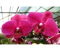 Doritaenopsis DTPS 040  (Black Butterfly x Jiuhbao Red Rose) 'Black Rose'