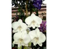 Phalaenopsis PH 077 Leontine
