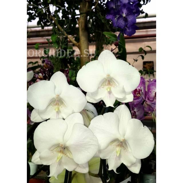 Орхидеи  отглеждане в дома почви торове и саксии