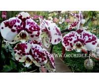 Phalaenopsis PH 078