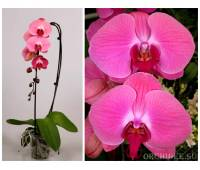 Phalaenopsis PH 123 Dutch Flying