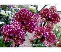 Phalaenopsis PH 114 Lioulin Wild Cat