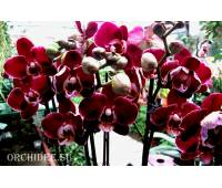 Phalaenopsis PH 120