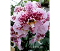 Phalaenopsis PH 121