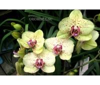 Phalaenopsis PH 132