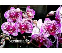 Phalaenopsis PH 085