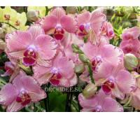 Phalaenopsis PHA 002 Pirate Picotee