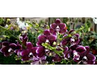 Phalaenopsis PHM 001 Maysang Black Boy 'Hsiang Big'