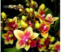 Phalaenopsis PHM 009 Tess