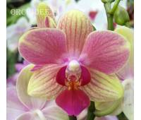 Phalaenopsis PHM 017 Summer Song