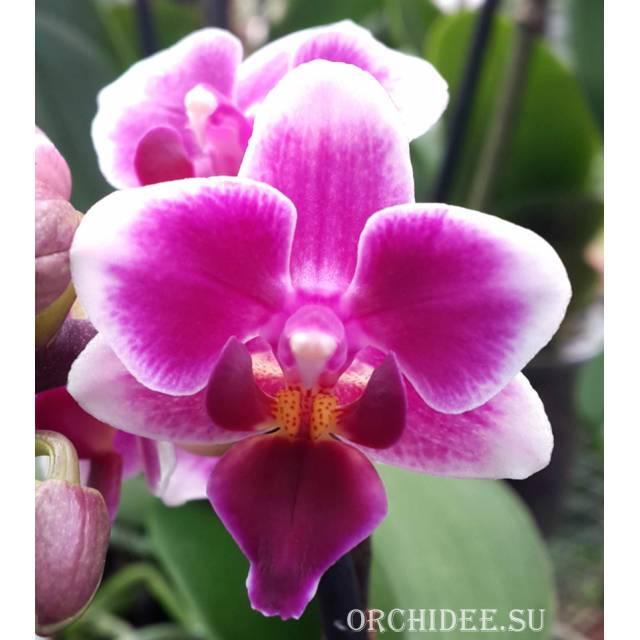 Phalaenopsis PHM 018 Sogo Tris (Be Tris x Rudolph)