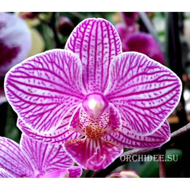 Phalaenopsis PHM 019