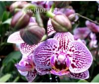 Phalaenopsis PHM 022