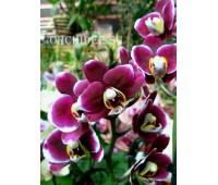 Phalaenopsis PHM 024