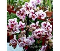 Phalaenopsis PHM 004