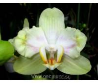 Phalaenopsis PP 004