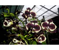 Phalaenopsis PHM 008 Brown Sugar