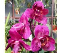 Phalaenopsis PP 006 Peloric