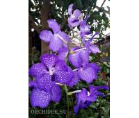 Vanda Kanchana Magic Blue