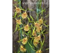 Brassia 'Mystic maze'