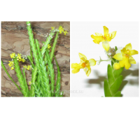 Lockhartia micrantha