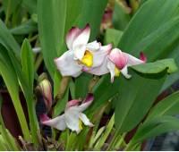 Maxillaria Padre Jorge Moreno