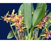 Maxillaria striata