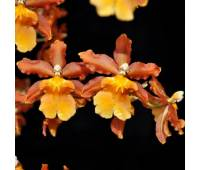Odontocidium Catatante 'Pacific Sunspots' HCC/AOS