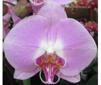 Phalaenopsis PH 021