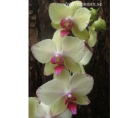 Phalaenopsis PH 049 Kristine Yellow