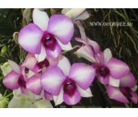 Dendrobium phalaenopsis Sai Rung Sugar