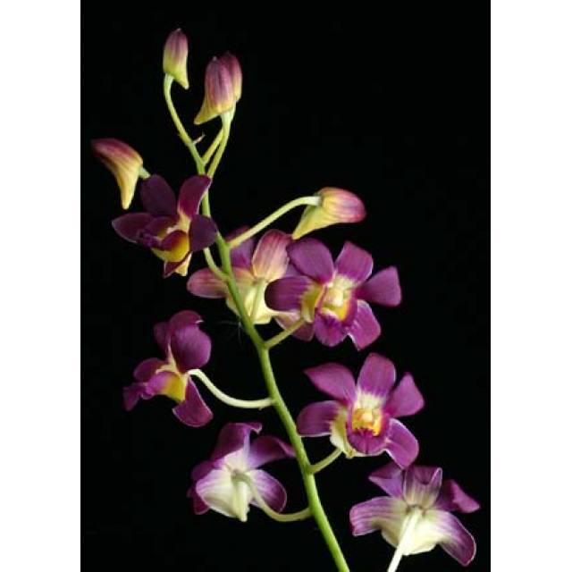 Dendrobium Betty