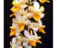 Ascocentrum miniatum x Doritis pulcherrima