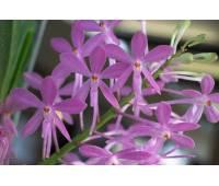 Ascofinetia Petite Bouquet