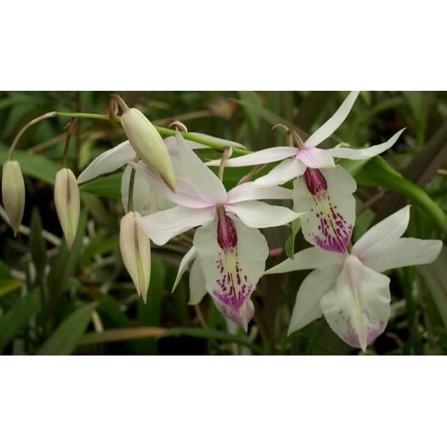 Barkeria spectabilis x lindleyana