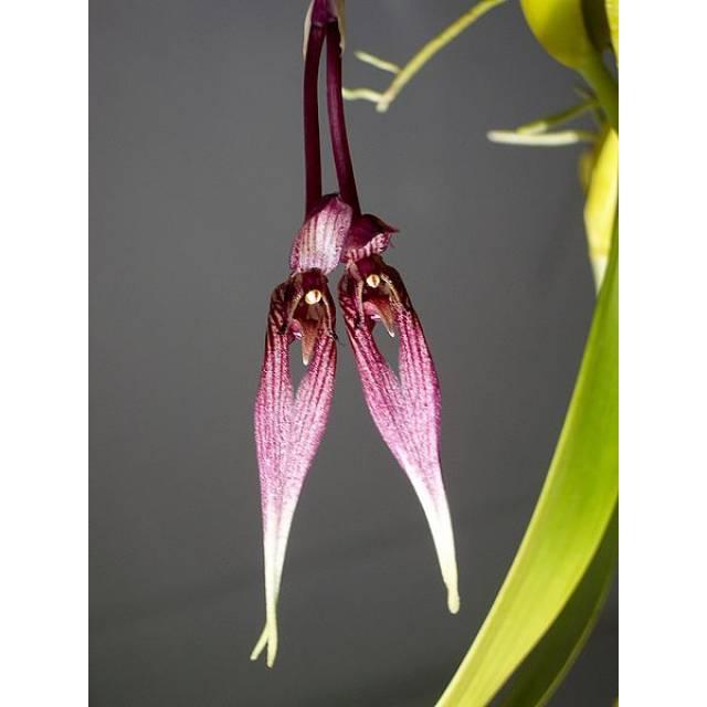 Bulbophyllum antennatum var. elephantis